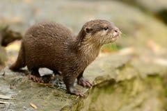 Orientale Klein--kratzte Otter - Cinerea Aonyx stockfotos