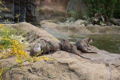 Orientale kurz-kratzte Otter Stockbild