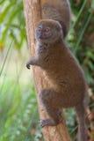 Orientale poco Lemur di bambù immagini stock libere da diritti