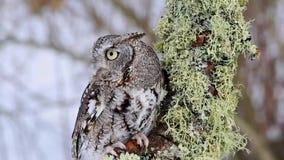 Orientale strida Owl Video - alto vicino stock footage