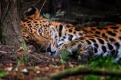 Orientali van Pantherapardus royalty-vrije stock foto's