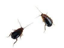 Orientalis Blatta - общие черные тараканы, белая предпосылка Стоковое Изображение RF