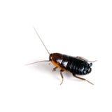Orientalis Blatta - женский черный таракан aka Oriental Стоковое Фото