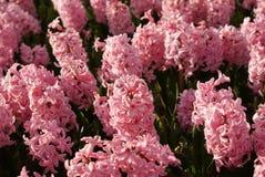 Orientalis de Hyacinthus Flores rosadas del jacinto Campo del resorte Fotografía de archivo libre de regalías