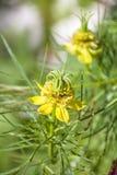 Orientalis de Nigella, flor de erva-doce amarela 'do transformador ', Amor-em-um-névoa fotografia de stock