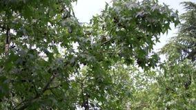 Orientalis de Platanus sycomore Le fruit de l'arbre est raccord? Boules vertes ?t? Floraison des arbres Contexte de banque de vidéos