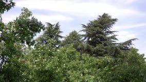 Orientalis de Platanus sycomore Le fruit de l'arbre est raccord? Boules vertes ?t? Floraison des arbres Contexte de clips vidéos