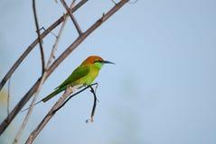Orientalis del Merops, bee-eater verde Imagen de archivo
