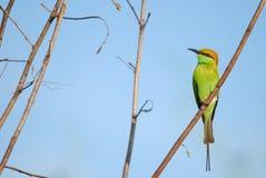 Orientalis del Merops, bee-eater verde Fotos de archivo libres de regalías