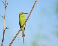 Orientalis del Merops, bee-eater verde Imágenes de archivo libres de regalías
