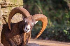 Orientalis del Ovis di muflone Immagine Stock