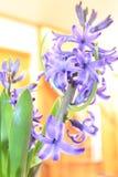 Orientalis di Hyacinthus Immagine Stock