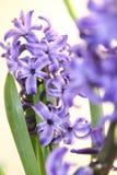 Orientalis di Hyacinthus Fotografia Stock Libera da Diritti