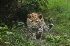 Orientalis di pardus della panthera del leopardo dell'Amur Fotografia Stock