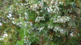 Orientalis imperecederos de Platycladus del árbol conífero almacen de metraje de vídeo