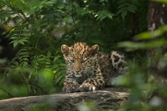 Orientalis pardus Panthera λεοπαρδάλεων Amur Στοκ φωτογραφία με δικαίωμα ελεύθερης χρήσης