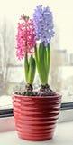 Orientalis rosados, azules de Hyacinthus, flores del jacinto del jardín, bulbos Imagen de archivo libre de regalías