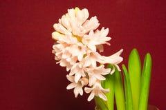 Orientalis van Hyacinthus royalty-vrije stock afbeeldingen