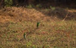 Orientalis verdes del Merops del Abeja-comedor Foto de archivo libre de regalías