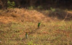 Orientalis verdes del Merops del Abeja-comedor Fotografía de archivo