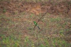 Orientalis verdes del Merops del Abeja-comedor Imagen de archivo libre de regalías