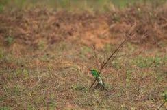 Orientalis verdes del Merops del Abeja-comedor Fotos de archivo