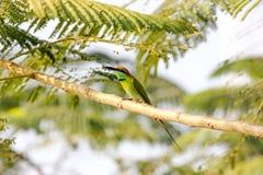 Orientalis verdes del Merops del Abeja-comedor Imagenes de archivo