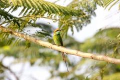 Orientalis verdes del Merops del Abeja-comedor Imagen de archivo