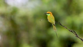 Orientalis verdes del Merops del Abeja-comedor Imágenes de archivo libres de regalías