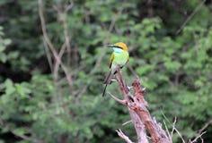Orientalis verdes do Merops do Abelha-comedor empoleirados no ramo Imagem de Stock