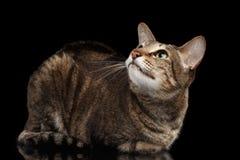 Orientalische Cat Lying und Schauen oben lokalisiert auf Schwarzem Lizenzfreie Stockfotografie