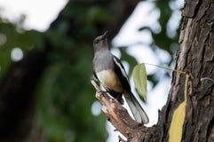 Orientalische Elster Robin auf defekter Niederlassung Lizenzfreies Stockbild
