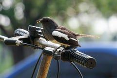 Orientalische Elster Robin auf einer Fahrradlenkstange mit Wurm Lizenzfreies Stockbild
