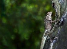 Orientalische Garten Eidechse oder Calotes versicolor auf dem Holz im trop Stockfotografie