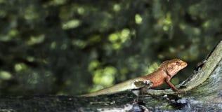 Orientalische Garten Eidechse oder Calotes versicolor auf dem Holz im trop Lizenzfreies Stockbild