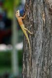 Orientalische Garteneidechse, die oben einen Baum klettert Lizenzfreie Stockfotografie