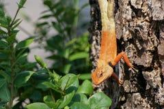 Orientalische Garteneidechse, die unten von einem Baum hängt Lizenzfreie Stockfotos