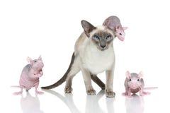 Orientalische Katze des Blue-point mit drei Ratten