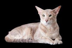 Orientalische Katze, die auf Schwarzem liegt Lizenzfreie Stockbilder