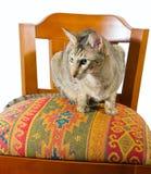 Orientalische Katze, die auf Stuhl sitzt Lizenzfreie Stockfotografie