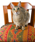 Orientalische Katze, die auf Stuhl sitzt Stockbild