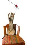Orientalische Katze, die auf Stuhl sitzt Stockfotografie