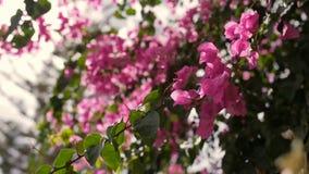 Orientalische Kirschblüten r Frühlingszeit… Rosenblätter, natürlicher Hintergrund stock footage