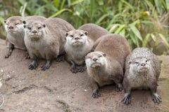 Orientalische kleine gekratzte Otter stockbild