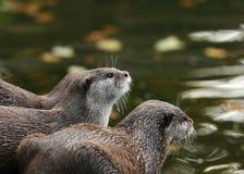 Orientalische Kurz-Gekratzte Otter Lizenzfreies Stockbild