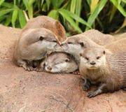Orientalische kurze gekratzte Otter Stockbild