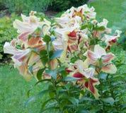 Orientalische lillies Stockfotografie