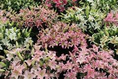 Orientalische Lilys-Anzeige an Southport-Blumenschau Stockfotografie