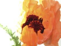 orientalische Mohnblume lizenzfreies stockbild