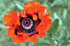 Orientalische Mohnblume in der Blüte Lizenzfreie Stockfotografie